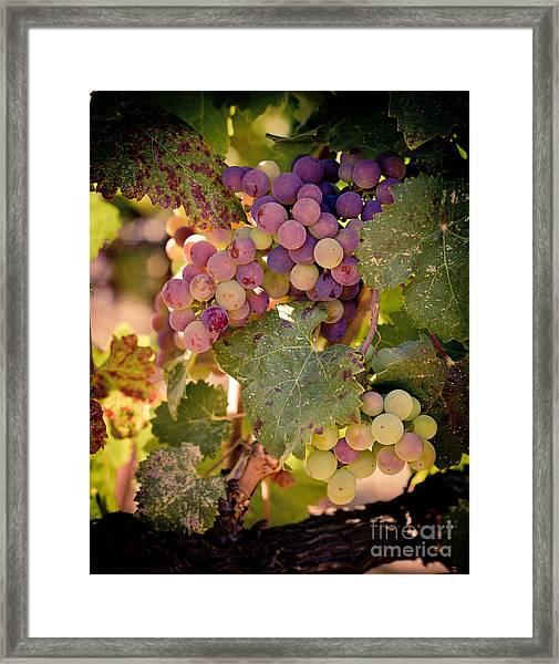 Sweet Grapes Framed Print