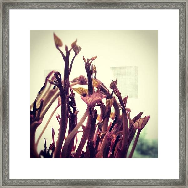 Sweet Potato Sprouts Framed Print