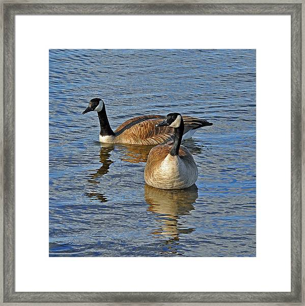 Swimming Together Framed Print