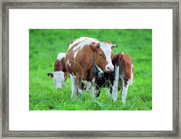 Swiss Farm And Milk Cow - Xlarge Framed Print