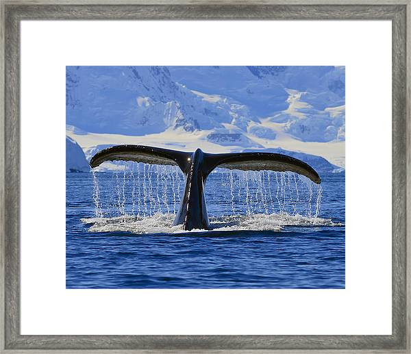 Tails From Antarctica Framed Print
