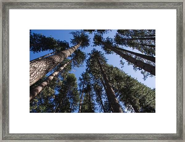 Talls Trees Yosemite National Park Framed Print