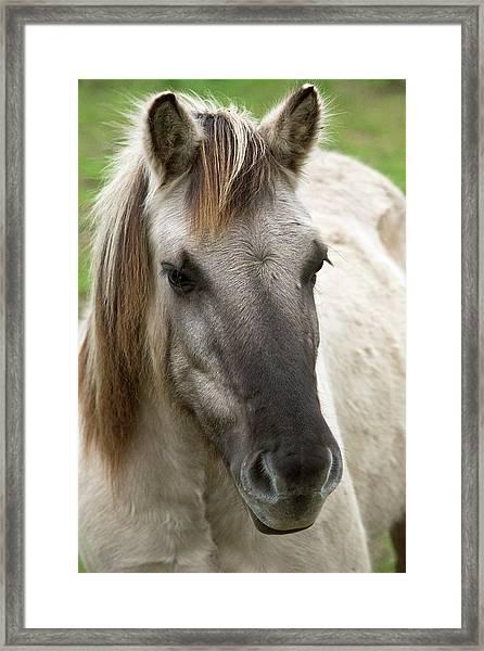 Tarpan Horse Framed Print by Bob Gibbons