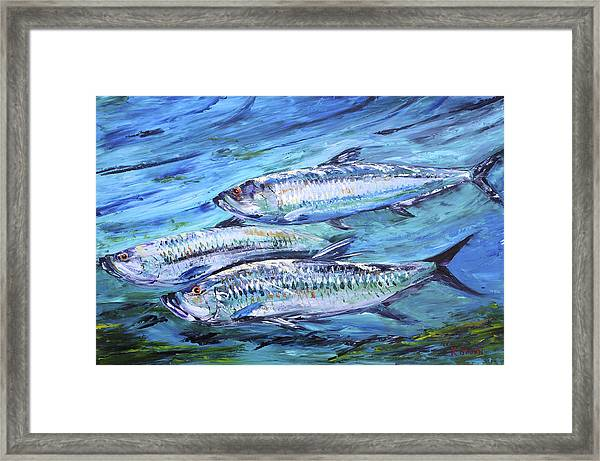 Tarpon On The Move Framed Print