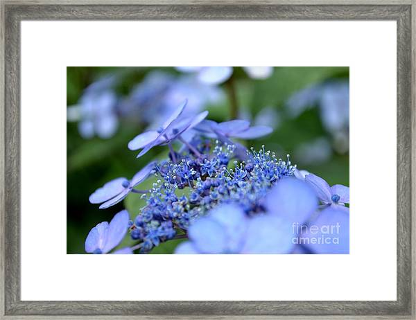 Framed Print featuring the photograph Taube Lacecap Hydrangea by Scott Lyons
