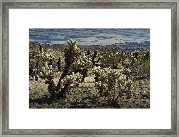Teddy Bear Cholla Cactus In California 0251 Framed Print