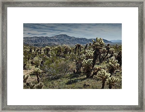 Teddy Bear Cholla Cactus In California 0253 Framed Print