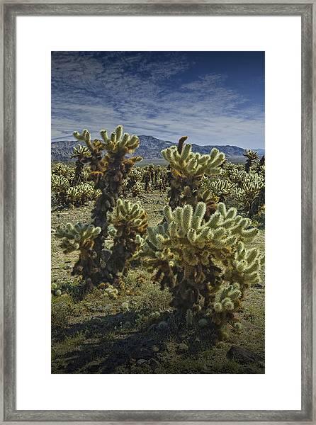 Teddy Bear Cholla Cactus In California 0274 Framed Print