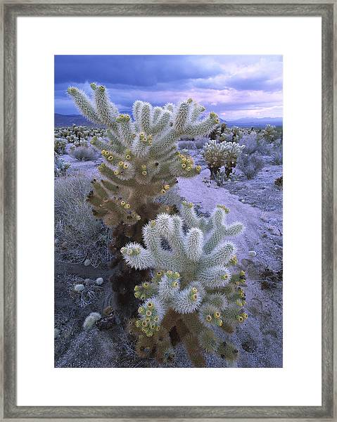 Teddy Bear Cholla Catus Blooming Framed Print