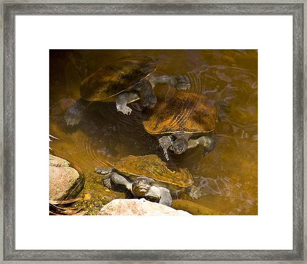 Terapin Smiles Framed Print by Debbie Cundy