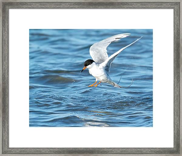 Forster's Tern Taking Flight Framed Print