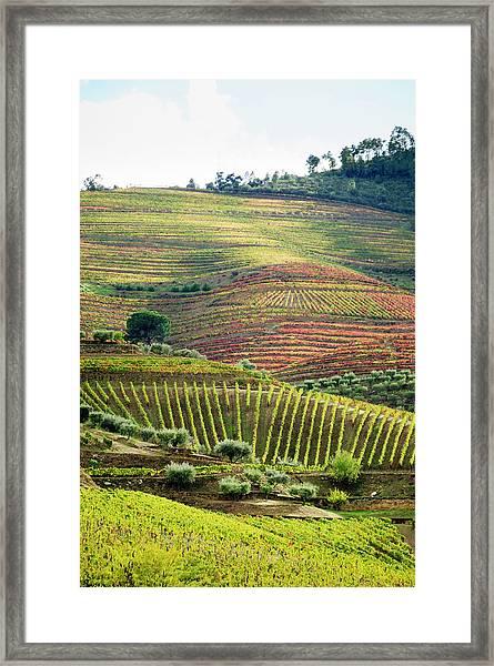 Terraced Field Vineyard  In Its Autumn Framed Print