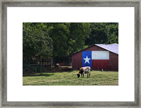 Texas Longhorn Grazing Framed Print