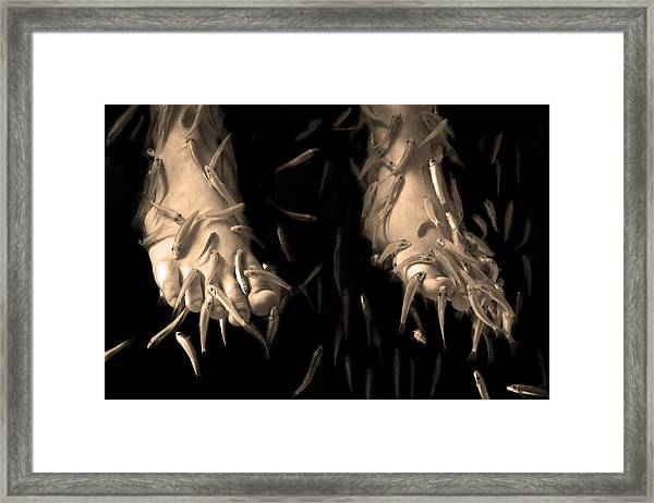 Thai Fish Spa Pedicure Framed Print