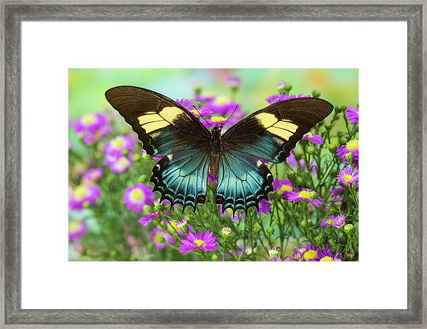 The Androgeus Swallowtail, Queen Page Framed Print by Darrell Gulin