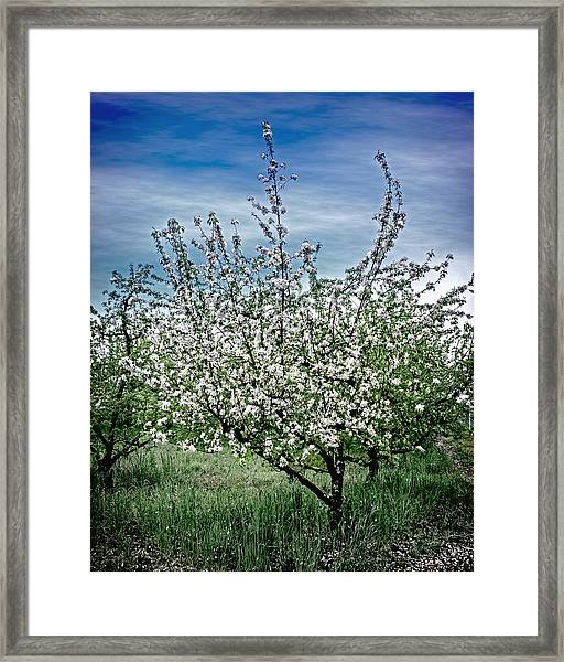 The Apple Tree Blooms Framed Print
