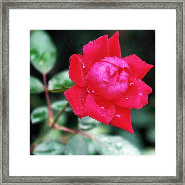 The Autumn Rose Framed Print