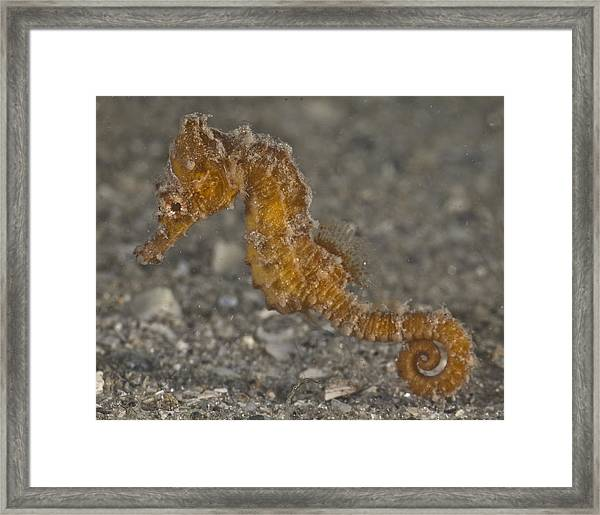 The Baby Seahorse Framed Print