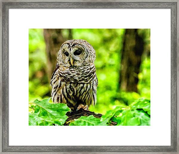 The Barred Owl Framed Print