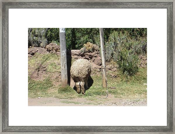 The Bashful Llama Framed Print