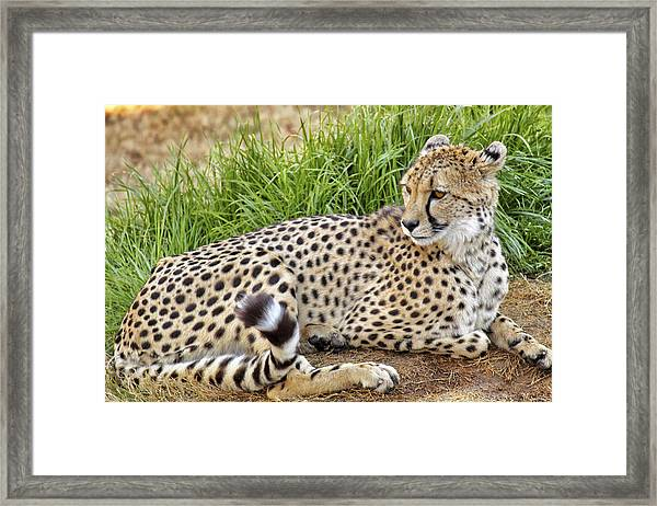 The Beautiful Cheetah Framed Print