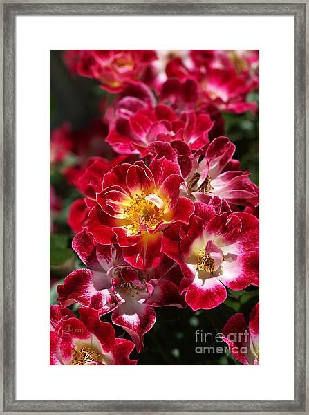 The Beauty Of Carpet Roses  Framed Print