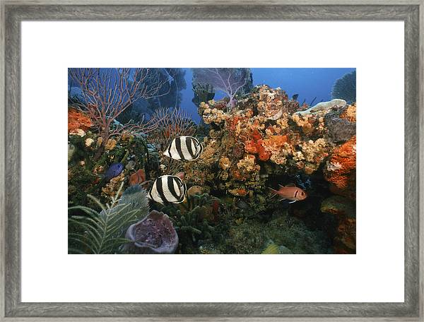 The Butterflyfish On Reef Framed Print