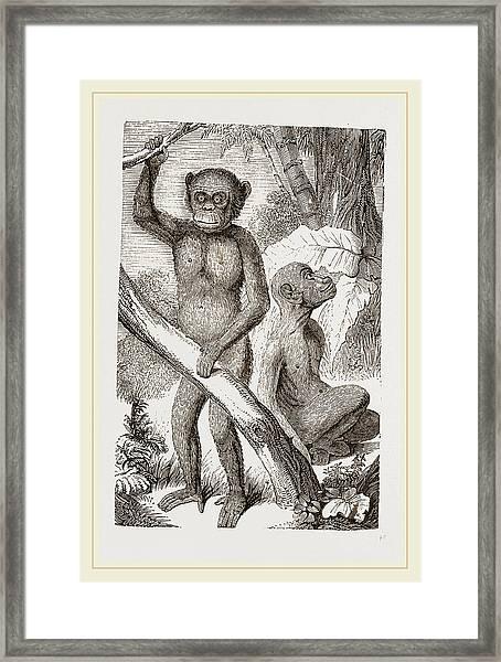 The Chimpanzee Framed Print