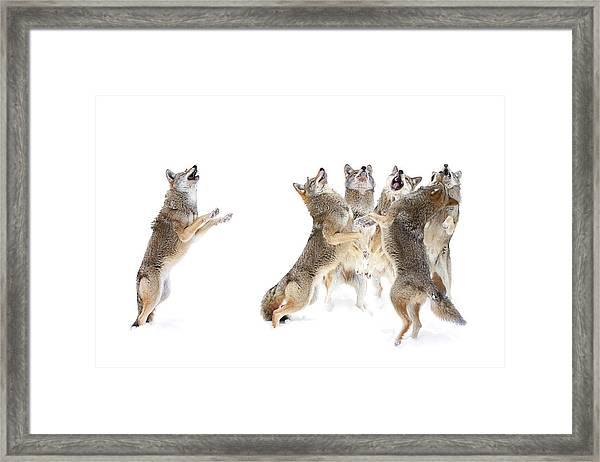 The Choir - Coyotes Framed Print