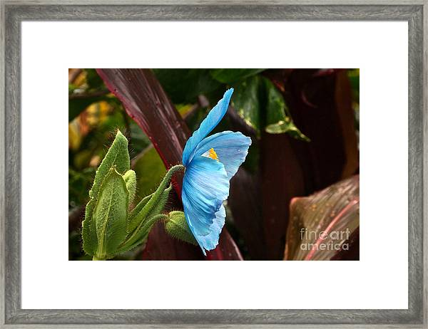 The Colors Of The Himalayan Blue Poppy Framed Print