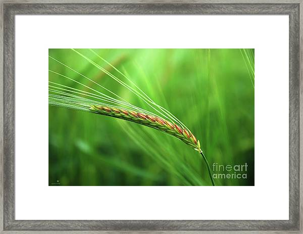 The Corn Framed Print