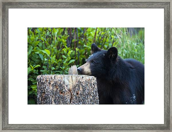 The Cub That Came For Lunch 1 Framed Print