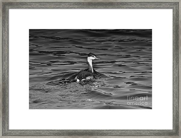 The Curious Grebe Framed Print