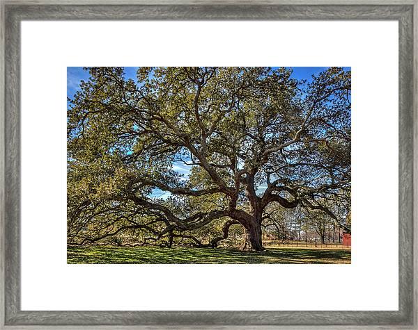 The Emancipation Oak Tree At Hu Framed Print