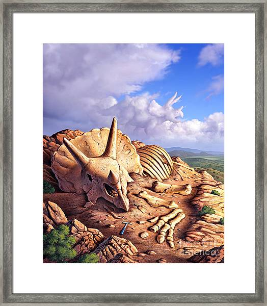 The Exposed Bones Of A Triceratops Framed Print