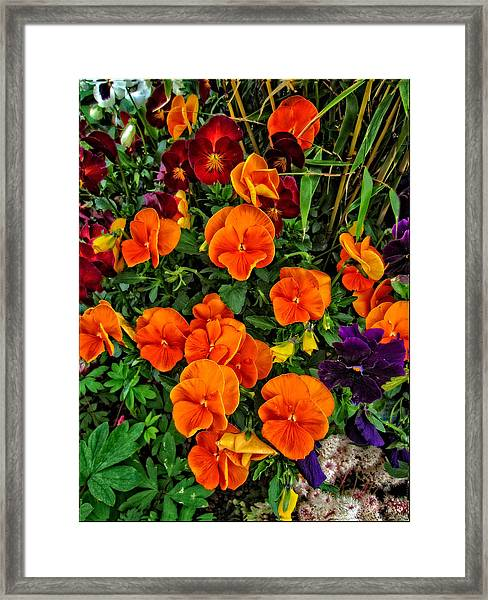 Fall Pansies Framed Print