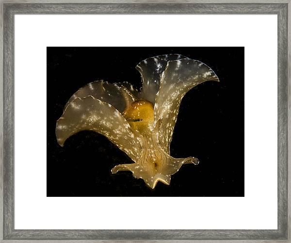 The Flying Aplysia Brasiliana Two Framed Print
