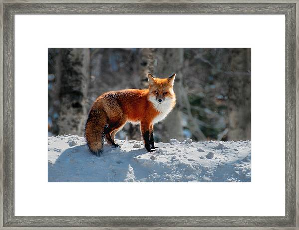 The Fox 3 Framed Print