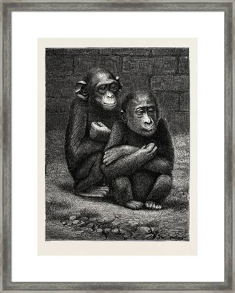 The Gorilla And Chimpanzee Exhibited At The Crystal Palace Framed Print