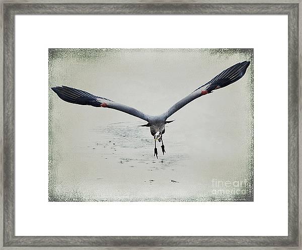 The Great Blue Heron In Flight Framed Print