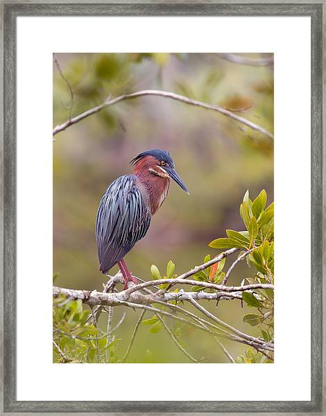 The Green Heron At Blue Hole Framed Print