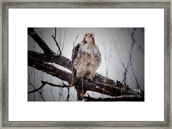 The Hawk Framed Print