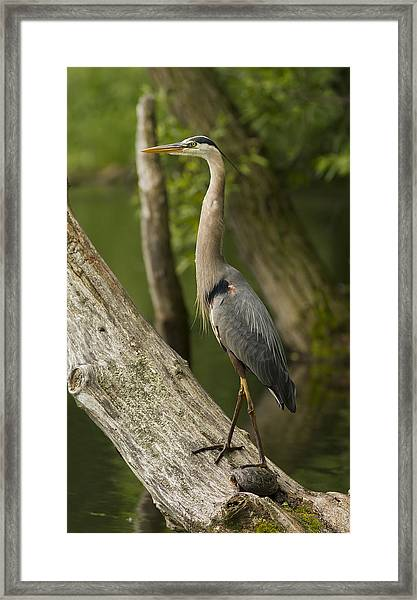 The Heron And The Turtle Framed Print