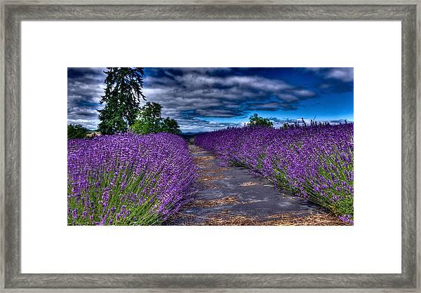 The Lavender Field Framed Print