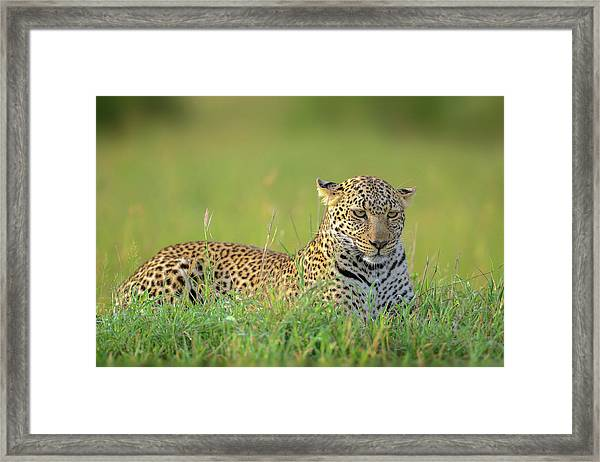 The Leopard Framed Print by Roshkumar