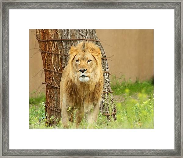 The Lion Framed Print by Gene Praag