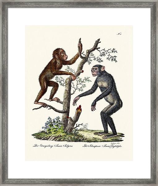 The Orang-outang Framed Print