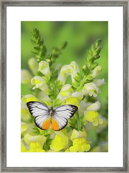 The Orange Gull Butterfly, Cepora Framed Print by Darrell Gulin