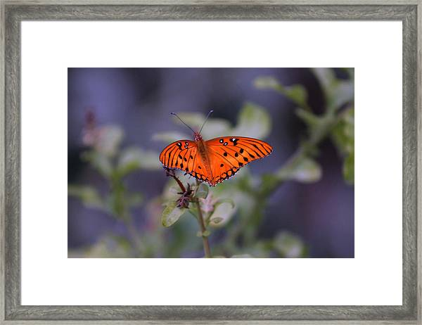 The Orange Wings Framed Print