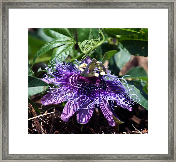 The Passion Flower Framed Print